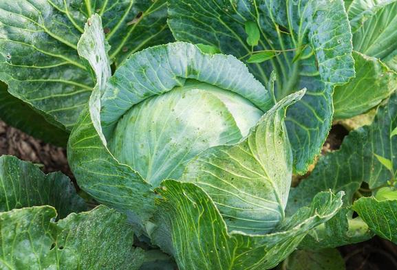 Правила догляду за капустою